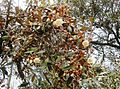 Sarcolaena oblongifolia 2.JPG