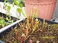 Sarracenia ((oreophila x flava) x leucophylla) x open-pollinated seedlings (5109167570).jpg