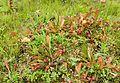 Sarracenia psittacina kz1.jpg