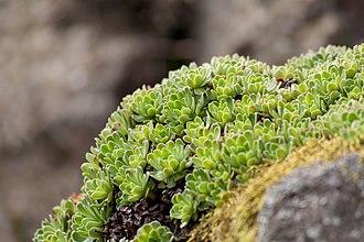 Saxifraga - Saxifraga urumoffii at the Royal Botanic Garden Edinburgh.