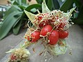 Scadoxus puniceus - Kirstenbosch botanical garden - 1.jpg