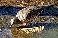 Scaled Dove (Columbina squammata) drinking ... (28494026566).jpg