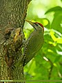 Scaly-bellied Woodpecker (Picus squamatus) (17391100180).jpg