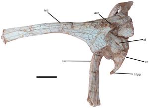 Nankangia - Scapulocoracoids