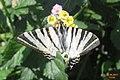 Scarce swallowtail (MakGi) (35135218173).jpg