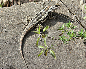 Description de l'image Sceloporus olivaceus bastrop co.jpg.