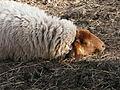 Schlafendes bretonisches Zwergschaf Januar.JPG