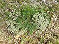 Scleranthus perennis sl13.jpg