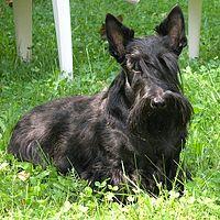 Scotish terrier burleska 2005.jpg