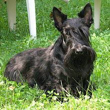 Scotish terrier burleska 2005.jpg