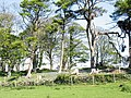 Scots pine and bluebells - geograph.org.uk - 420689.jpg