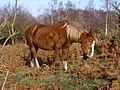 Scratching pony on Setley Plain, New Forest - geograph.org.uk - 302630.jpg