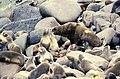 Sea Lion Colony On Rocks.jpg