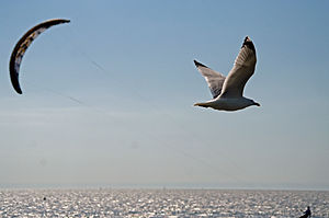 Seagull and kitesurfer at büsum north sea.jpg