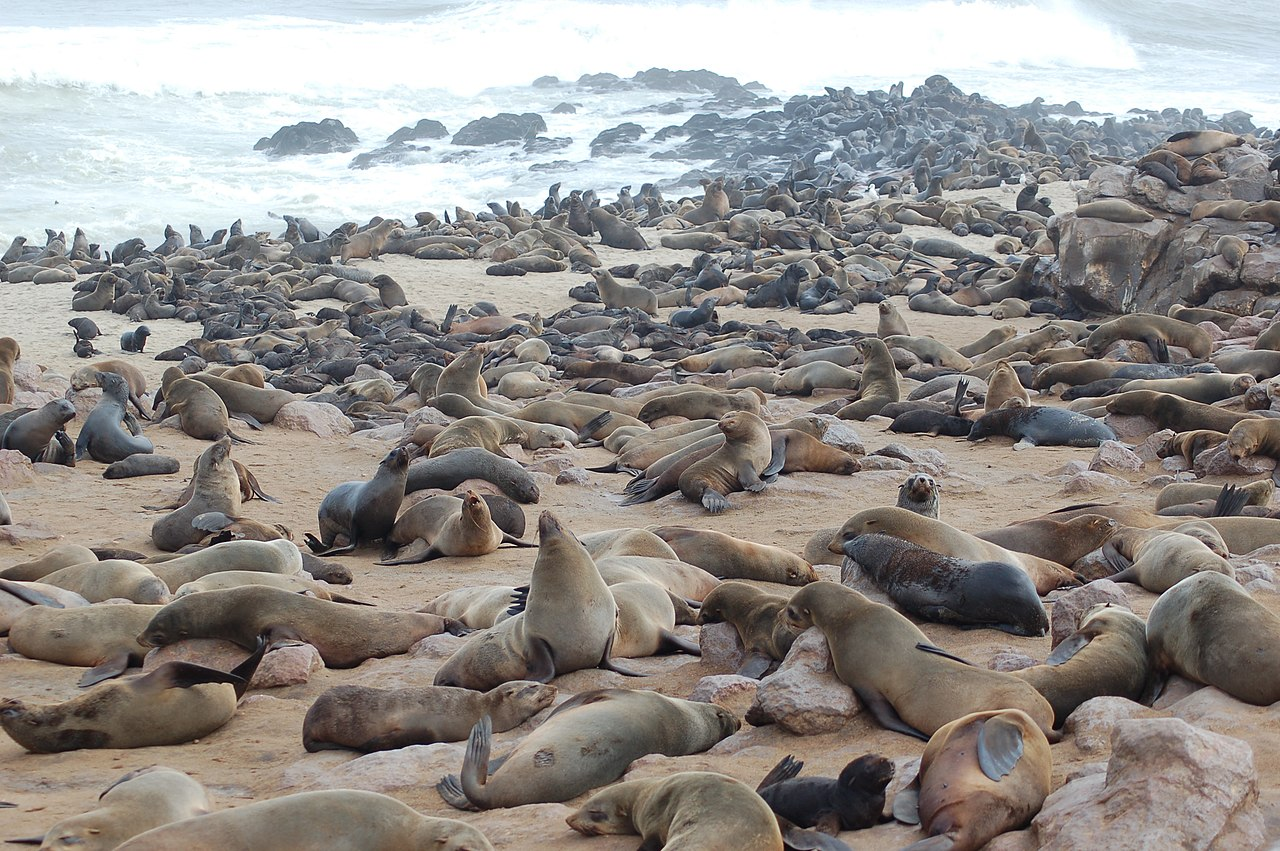 file seals at cape cross namibia 3046564844 jpg wikimedia commons. Black Bedroom Furniture Sets. Home Design Ideas