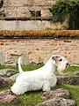 Sealyham Terrier - MM.1.jpg