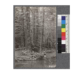 Secondgrowth Redwood Yield Study. North fork of Gualala - plot -6. A 44 year old stand of redwood and alder - 44 M.B.M. per acre. This stand was stunted apparently by poor drainage. D. Bruce - Oct. 1922.png