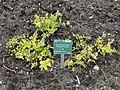 Sedum populifolium - Copenhagen Botanical Garden - DSC07930.JPG