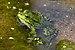 Seefrosch flora köln.jpg