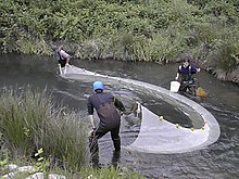 Seining for wild fish.jpg