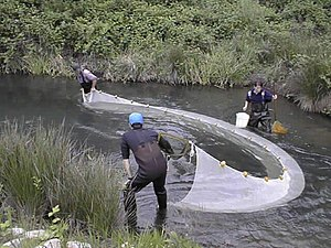 Seine fishing - Seining for fish in a river