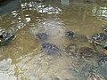 Sekelompok penyu di kolam-1.jpg