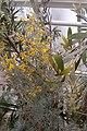 Senna artemisioides BotGardBln271207C.jpg