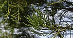 Sequoiadendron giganteum-1.jpg