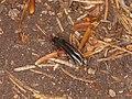 Serropalpus barbatus (41324307050).jpg