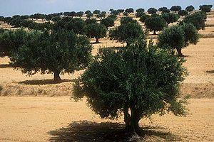 Sahel, Tunisia - Olive orchard near Sfax