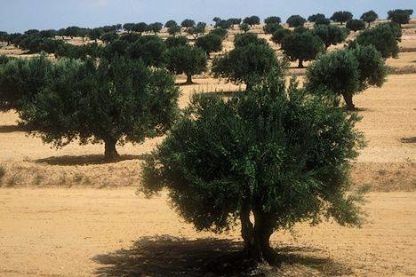 Sfax oliviers