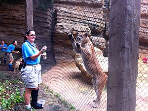 Shasta (mascot) - Shasta VI, The University of Houston's current live mascot with his trainer