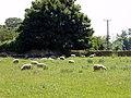 Sheep Grazing at Thornton Abbey - geograph.org.uk - 191157.jpg