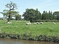 Sheep Grazing by the Macclesfield Canal, Bosley, Cheshire - geograph.org.uk - 550760.jpg