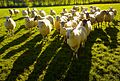Sheep Shadows (6319045744).jpg