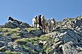 Sheep at Glenktörl.jpg
