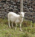 Sheep in Wales.jpg