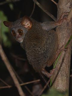 Siau Island tarsier Species of primate