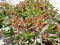 Sibbaldia procumbens (5066467208).jpg
