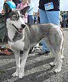 Siberian Husky Grey-White 3.jpg