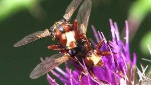 File:Sicus ferrugineus Copula.ogv