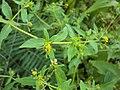 Sigesbeckia orientalis 13.JPG