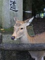 Sika deer in Nara Park, November 2016.jpg