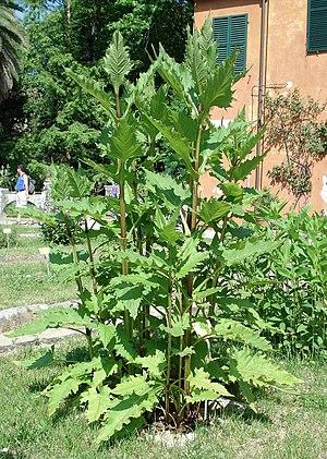 Silphium perfoliatum - Silphium perfoliatum  – Orto botanico di Pisa