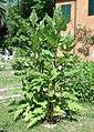 Silphium perfoliatum.JPG