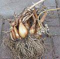 Sint Jansui plant.jpg