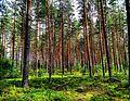 Skog utanför Jaunjelgava.jpg