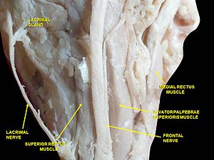 Levator palpebrae superioris muscle