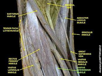 Vastus intermedius muscle - Image: Slide 9WWWW