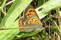Small copper (NH) (11129228886).jpg